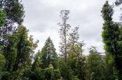 Lebih dari 100 Meter, Inilah Pohon Kayu Keras Tertinggi di Dunia