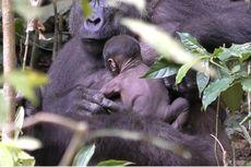 Video Langka Tampilkan Kedekatan Ibu Gorila dan Bayinya