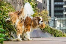 Kenapa Anjing Sering Meninggalkan Jejak Setelah Kencing?