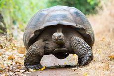 Seratus Bayi Kura-kura Raksasa Dicuri dari Kepulauan Galapagos