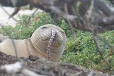 Langka tapi Nyata, Seekor Belut Terjebak dalam Hidung Anjing Laut