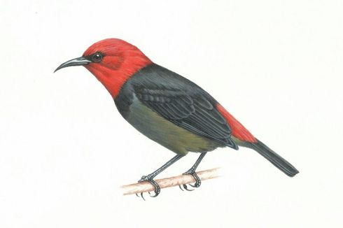 Iriana Widodo Dipakai Jadi Nama Burung, Seperti Apa Rupanya?