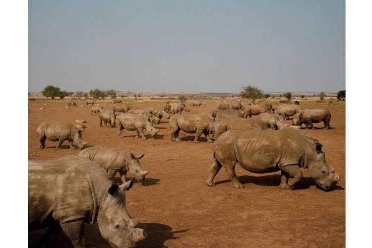 Badak-badak merumput di lahan John Hume di Klerksdorp, Afrika Selatan. Hume memiliki peternakan badak terbesar di dunia, dengan lebih dari 1.500 ekor badak. Ia berencana untuk menjual cula dari persediaan besarnya untuk mendanai perlindungan badak-badaknya.