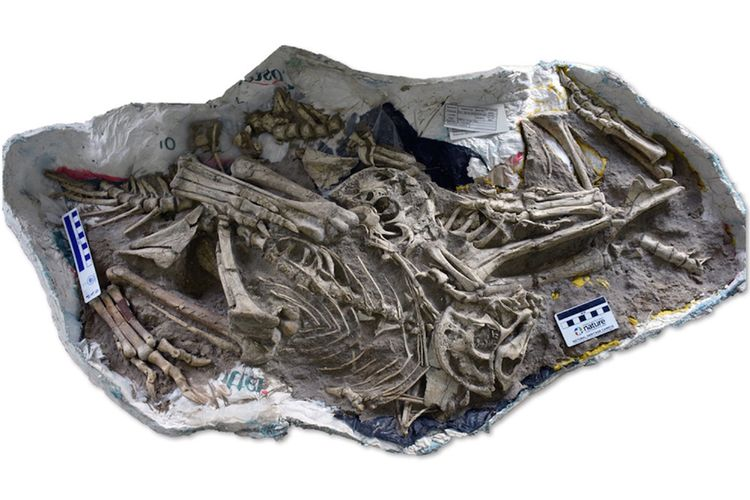 Blok batu berisi tiga fosil Oviraptoridae muda