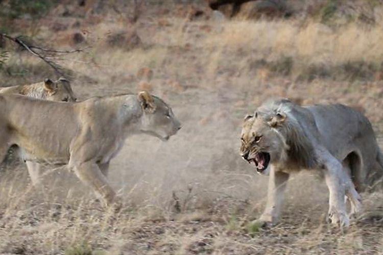 Video yang diambil di Pilanesberg Game Reserve, Afrika Selatan, menampilkan detik-detik langka saat dua singa jantan muda diusir oleh singa-singa betina.