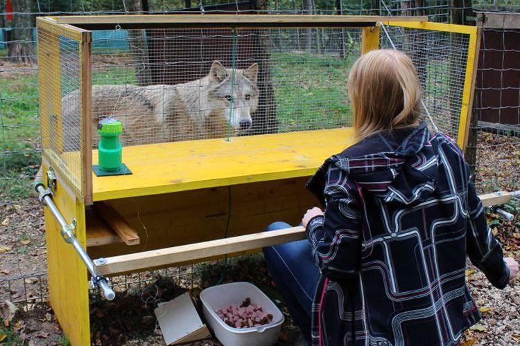 Pengujian yang dilakukan oleh para peneliti dari Wolf Science Center di University of Veterinary Medicine, Wina.