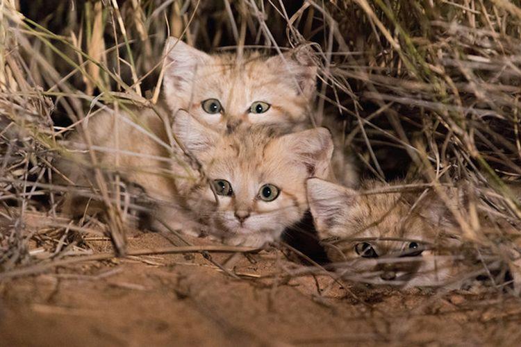 Tiga anak kucing pasir yang berhasil didokumentasikan oleh tim peneliti Panthera di Gurun Sahara Maroko.