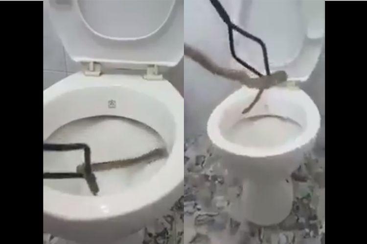 Ular yang ditarik keluar dari jamban toilet