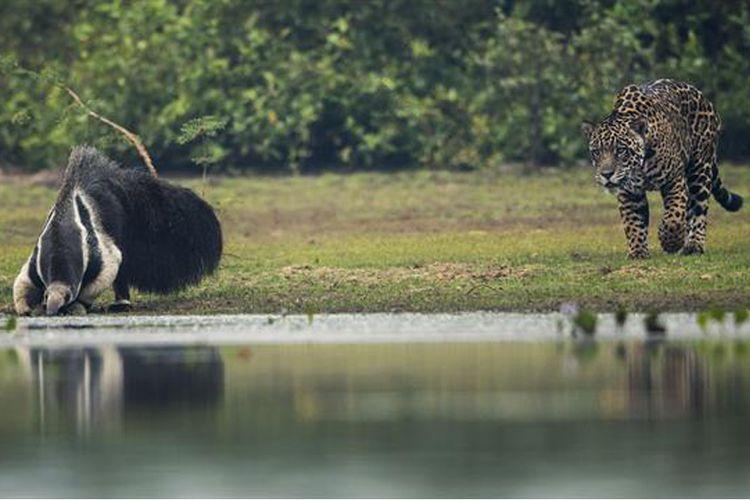 Seekor jaguar mendekati pemakan semut raksasa yang sedang minum air di danau Pantanal, Brasil.