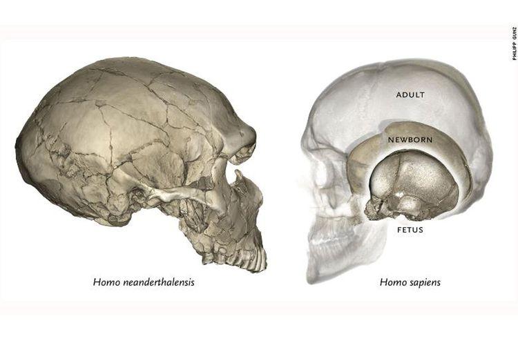 Kiri tengkorak Neanderthal, kanan tengkorak manusia modern