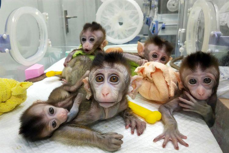 Foto yang diambil pada 27 November 2018 dan dirilis pada 24 Januari 2019 oleh Chinese Academy of Sciences Institute of Neuroscience via CNS ini menunjukkan lima monyet yang telah dikloning di sebuah institusi penelitian di Shanghai. STR / CHINESE ACADEMY OF SCIENCES / CNS / AFP