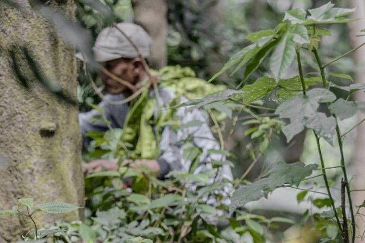 Pak Jali tengah memetik petai di perbukitan sekitar Kecamatan Rumpin, Bogor, Jawa Barat.