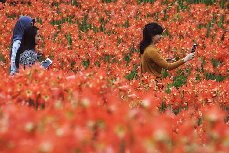 Pengunjung berada di Taman Kebun Bunga Amarilis, Patuk, Gunungkidul, DI Yogyakarta, Sabtu (14/10/2017). Kebun bunga milik warga setempat yang bermekaran secara bersamaan menjadi destinasi wisatawan yang berkunjung ke Yogyakarta, khususnya bagi para pemburu swafoto.