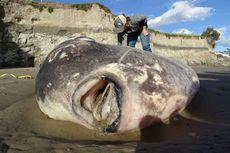 6.800 Km dari Habitat Aslinya, Ikan Mola-mola Raksasa Terdampar di AS