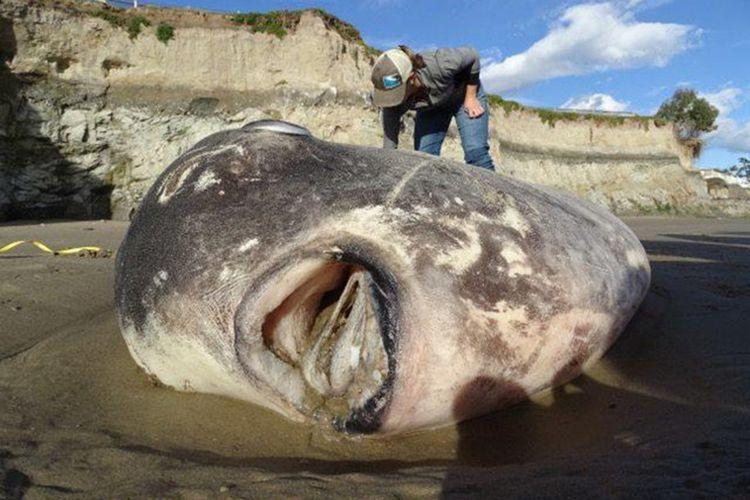 Jauh dari habitat aslinya, ikan mola-mola langka terdampar di California