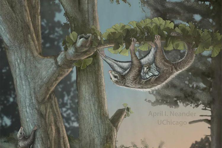 Sebuah ilustrasi menunjukkan bagaimana Maiopatagium furculiferum mungkin bergerak di antara pohon di era Jurasik.