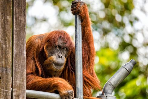 Orangutan Sumatera Tertua di Dunia Mati pada Usia 62 Tahun