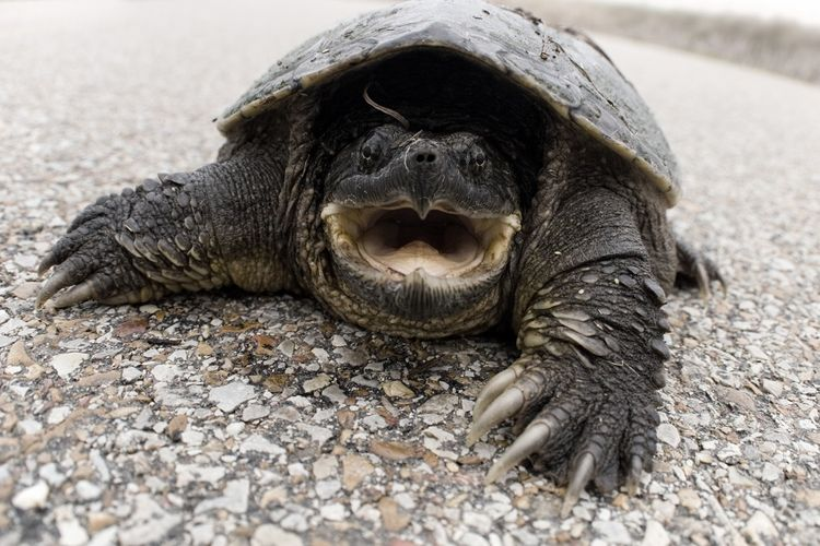 Common snapping turtle di AS mengalami ketimpangan jenis kelamin.