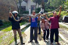 Warga Tangkap Ular Piton Sepanjang 4 Meter di Kandang Ayam