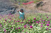 Kebun Bunga Celosia 'Mewabah' sampai Aceh Utara