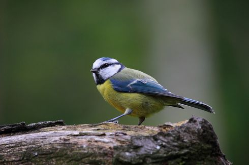 Seperti Manusia, Burung Gelatik Biru Juga Bisa Ceraikan Pasangannya