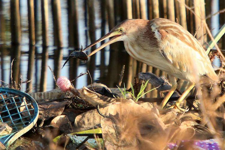 Seekor burung memakan ikan di antara sampah plastik di Danau Limboto, Gorontalo.