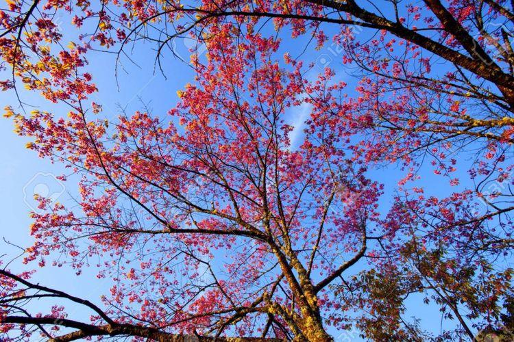 Pemandangan Sakura di Taman Nasional Doi Inthanon, Thailand.