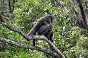 Lima Owa Jawa Dilepasliarkan di Hutan Lindung Gunung Malabar