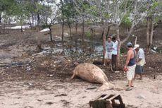 Terempas Gelombang Tinggi, Dugong 3,4 Meter Ditemukan Mati di Pantai Karimun