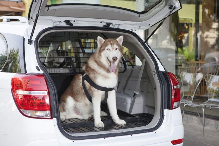 Bawa hewan peliharaan di mobil tak bisa sembarangan.