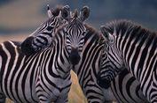 Peneliti Temukan Alasan Pola Hitam Putih di Tubuh Zebra