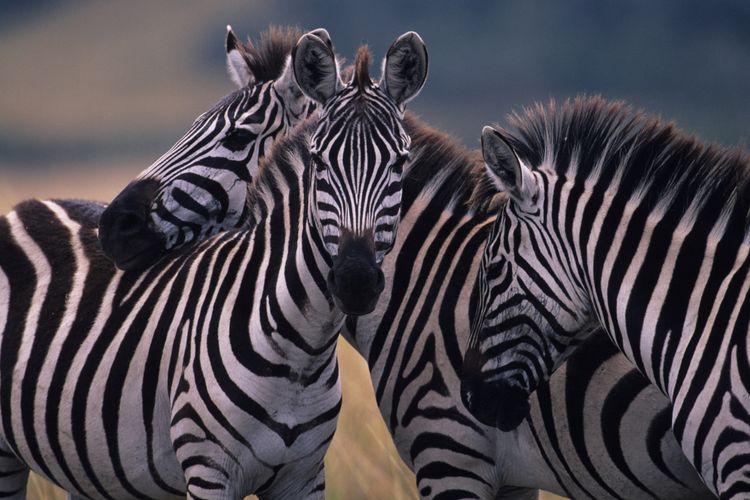 Ilustrasi zebra