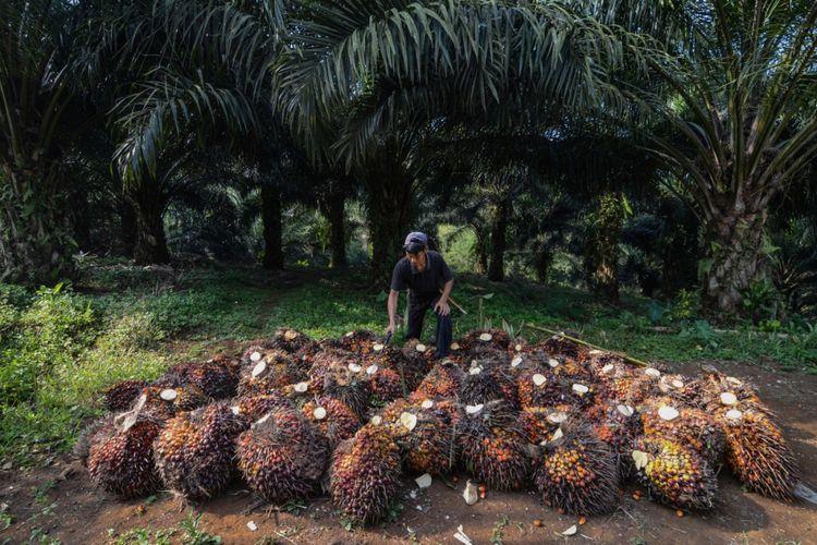 Buruh memanen kelapa sawit di Desa Sukasirna, Cibadak, Kabupaten Sukabumi, Jawa Barat, Jumat (13/7/2018).