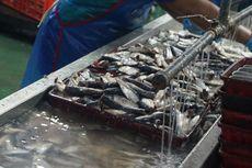 Ikan Lemuru Muncar, Dulu Dibuang-buang Sekarang Menghilang (2)