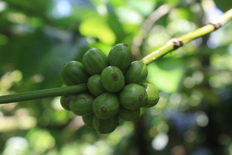 Buah kopi dampit yang masih berwarna hijau.