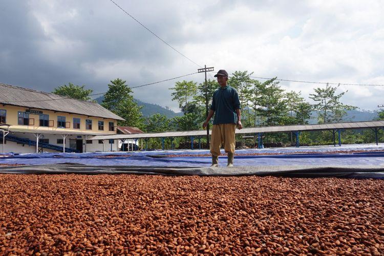 Mulyadi, pekerja pabrik Coklat saat menjemur biji kakao Sabtu (12/5/2018)