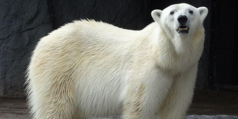 beruang betina bernama Pirika