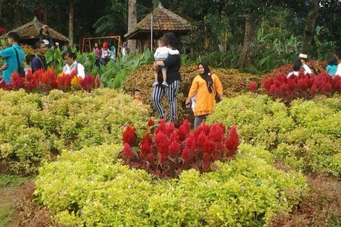 Ingin Ungkapkan Cinta? Datang Saja ke Taman Bunga Celosia