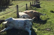 Tersambar Petir, 6 Ekor Sapi di Australia Mati Bersamaan