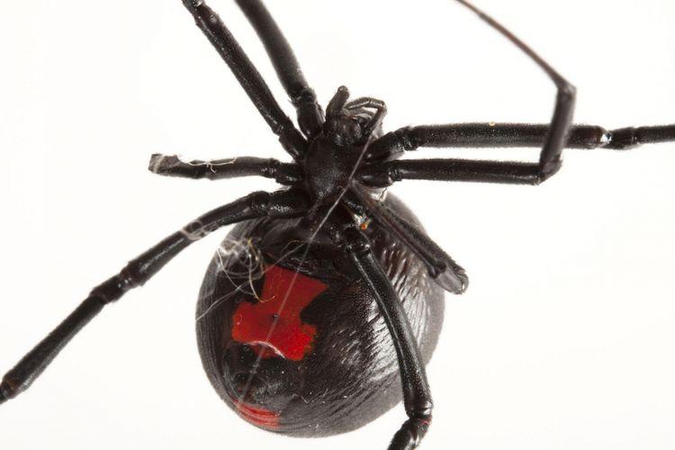 Jaring laba-laba Black Widow ternyata bisa sekuat baja
