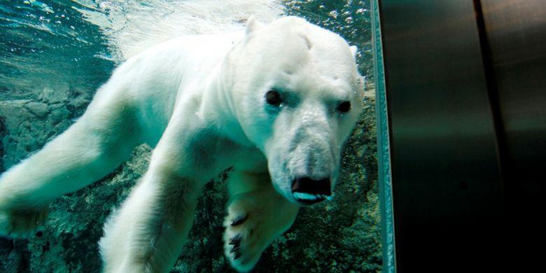 Beruang kutub di kebun binatang Asahikawa di daerah Hokkaido, Jepang