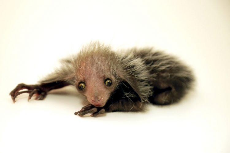 Inilah Tonks, aye-aye yang baru lahir di kebun binatang Denver, AS, 8 Agustus 2018 lalu.