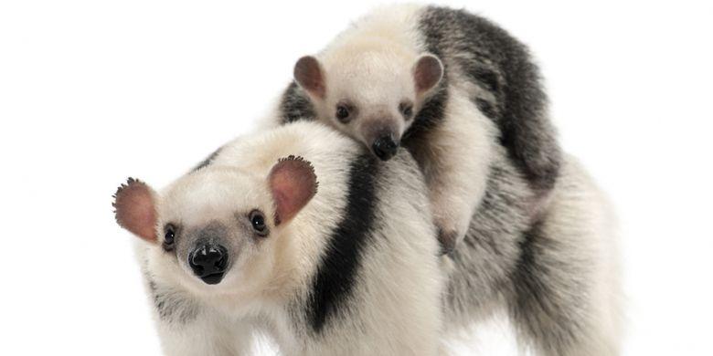 Tamandua, Tamandua tetradactyla mother, 3 years old, and child, 3 months old, walking against white background