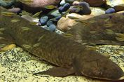 Berusia 80 tahun, Inilah Ikan Tertua yang Hidup di Penangkaran
