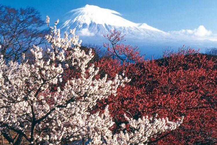 """Pemandangan Gunung Fuji dan bunga ume di """"Iwamotoyama Park"""""""