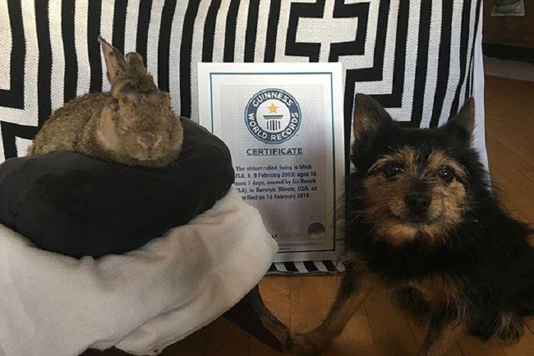 Mick (kiri) kelinci tertua di dunia berusia 16 tahun yang dicatat Rekor Dunia Guinness, bersama sertifikat dan anjing peliharaan pemiliknya.