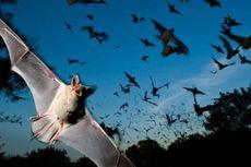 Virus Nipah yang Ditularkan oleh Kelelawar Tewaskan 10 Orang di India