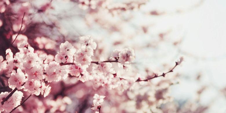 ILUSTRASI - sakura
