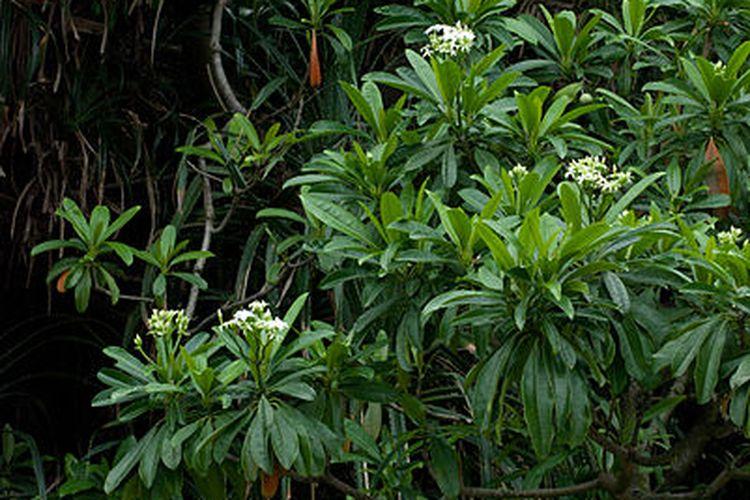 Tumbuhan bintaro (Cerbera manghas)