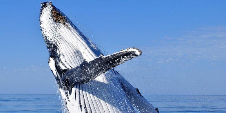 Mengamati paus bermigrasi adalah salah satu aktivitas yang diminati wisatawan di Australia Barat.